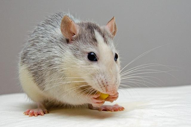 pet rat